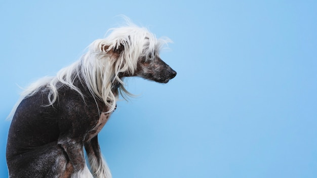 白い髪型と座っている中国の紋付き犬 無料写真