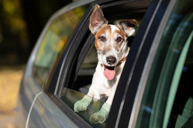 車の窓から頭を突き出して犬 無料写真
