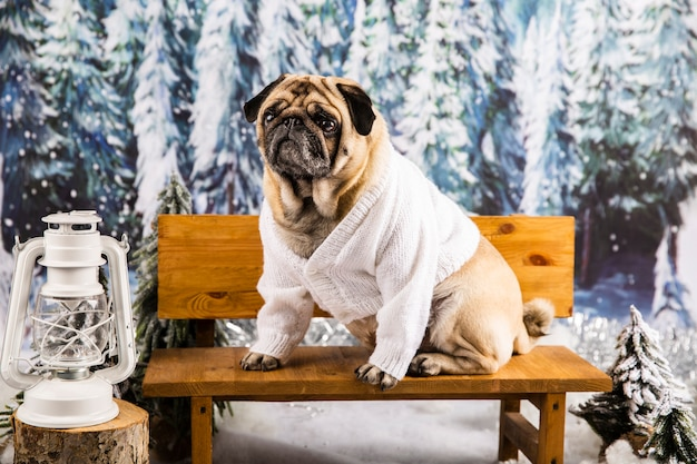 ベンチにセーターでかわいいパグ 無料写真