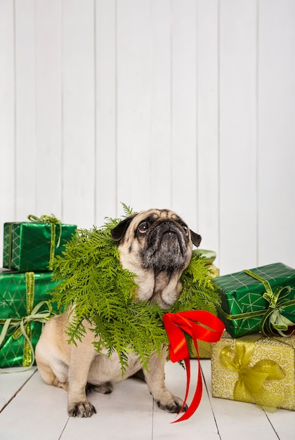 プレゼントの近くの首に花輪をかぶったかわいいパグ 無料写真