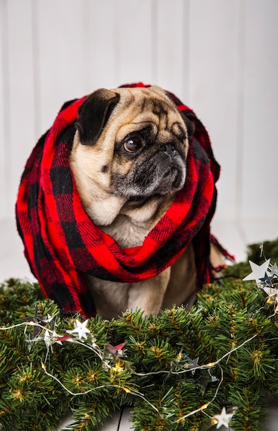 松の枝の装飾に近いスカーフを着てかわいいパグ 無料写真