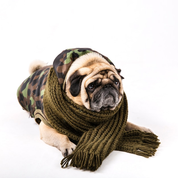 軍服とスカーフでかわいいパグ 無料写真