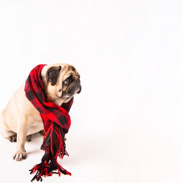 市松模様のスカーフで座っているかわいいパグ 無料写真
