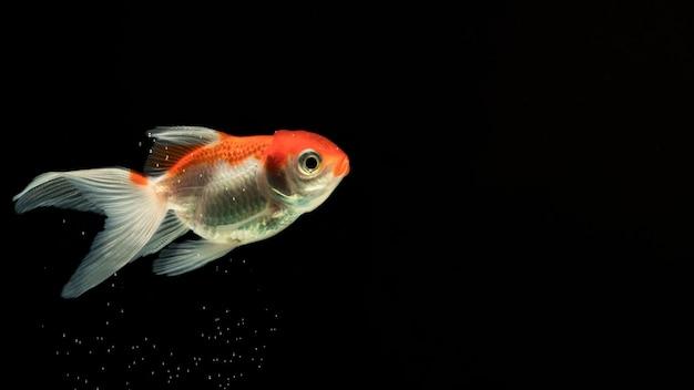 サイドビューで泳ぐ「ハーフムーン」ベタの魚 無料写真