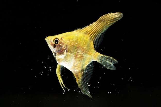 黄色の半月シャムベタ魚の感動的な瞬間 無料写真