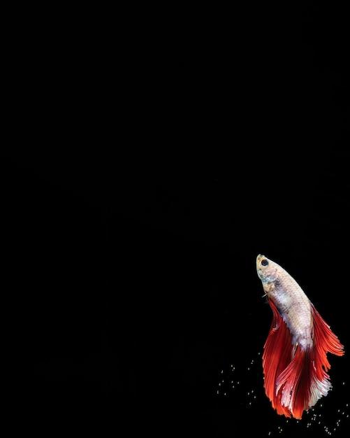 Бетта рыба с дизайном платья и копией пространства Бесплатные Фотографии