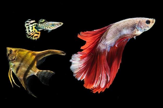 Красивая бетта рыбы изолированный черный фон Бесплатные Фотографии
