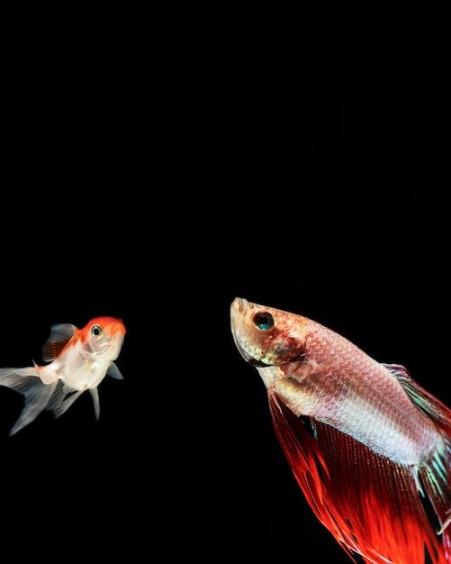 Бетта рыба смотрит с копией пространства Бесплатные Фотографии