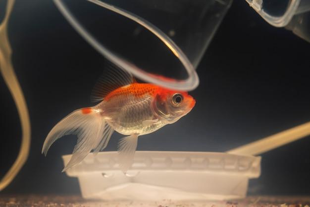 プラスチックカップの間を泳ぐ悲しいベタ魚 無料写真