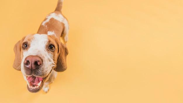 Вид сверху улыбающаяся собака с копией пространства Бесплатные Фотографии