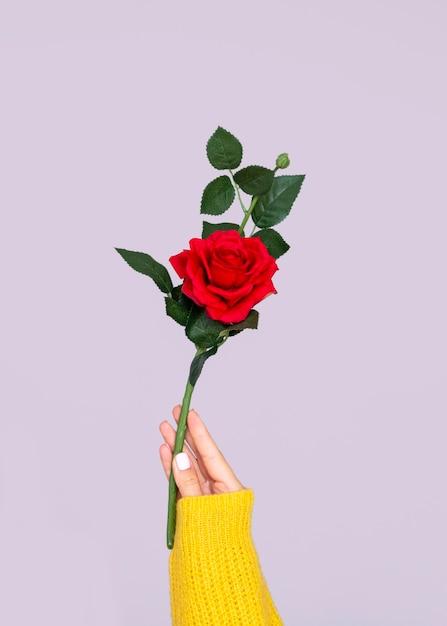 Рука держит прекрасную розу Бесплатные Фотографии