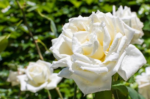 クローズアップのきれいな白いバラの花びら 無料写真
