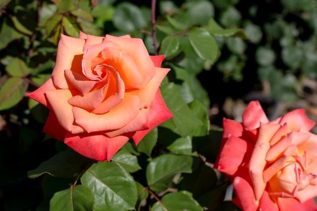 クローズアップ美しいオレンジ色のバラ屋外 無料写真