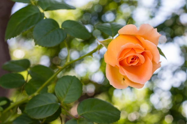 Макро довольно оранжевая роза с зелеными листьями Бесплатные Фотографии