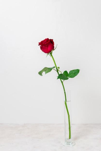 正面の美しい赤いバラ 無料写真