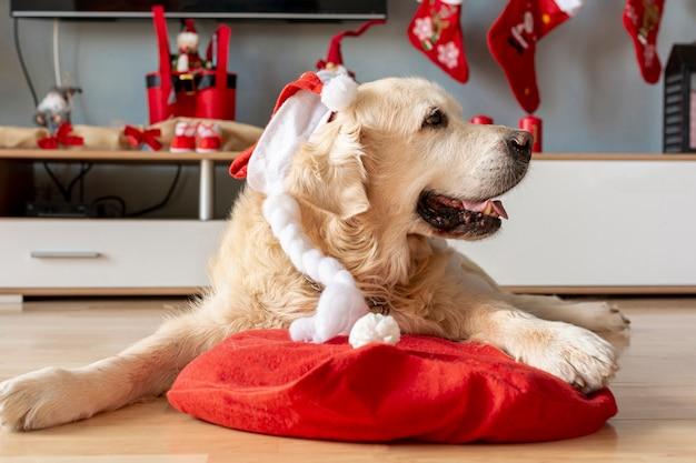 サンタの帽子と自宅でラブラドール 無料写真