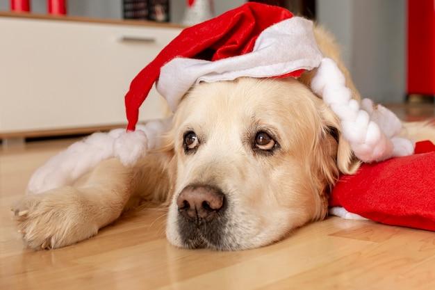 サンタ帽子をかぶって自宅で高角度のラブラドール 無料写真