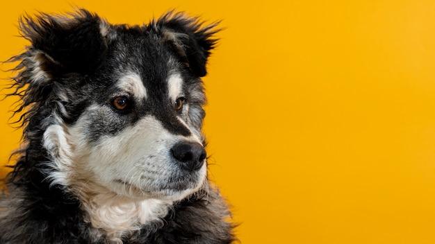 黄色の背景に目をそむけるかわいい犬 無料写真