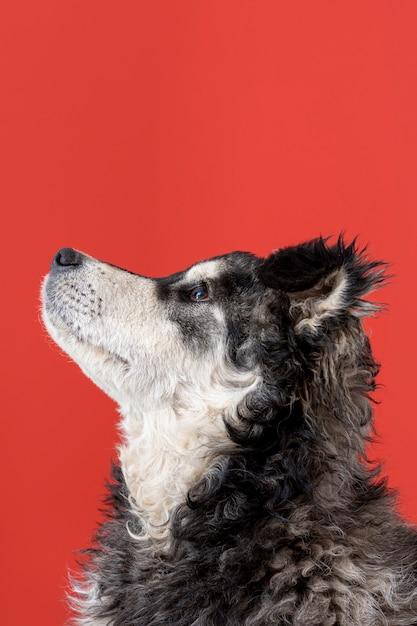 赤い背景の上を見上げている犬 無料写真