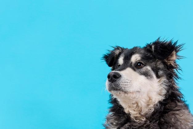 青色の背景にサイドビューの毛皮のような犬 無料写真