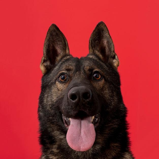 赤の背景に舌を出した正面犬 無料写真