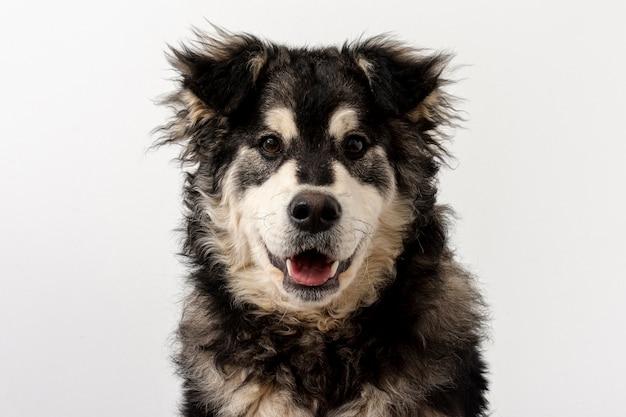 舌を出した正面のかわいい犬 無料写真