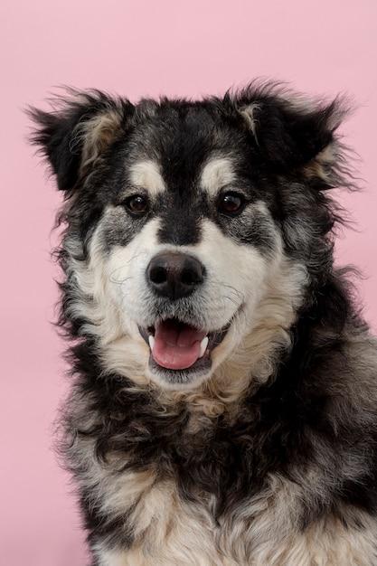 ピンクの背景に正面かわいい犬 無料写真