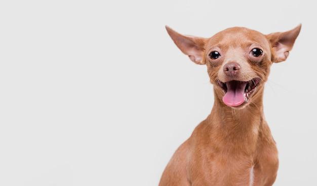 コピースペースでかわいい小型犬 無料写真