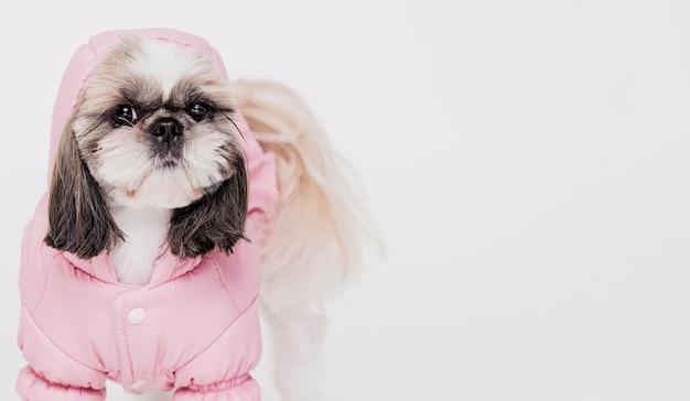 衣装でかわいい犬 無料写真