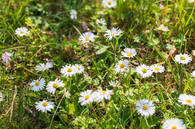白いデイジーの花のフィールド 無料写真