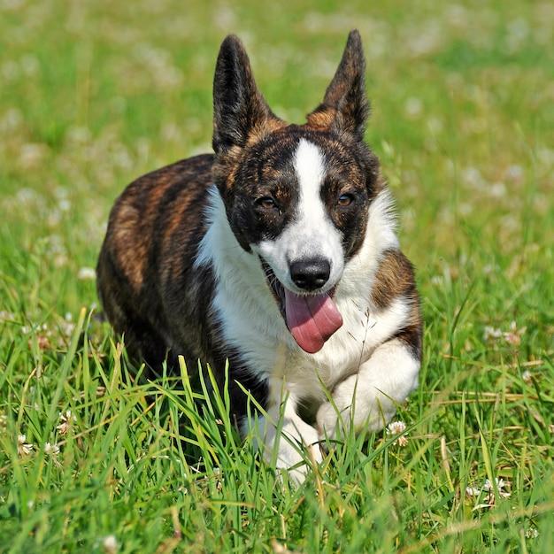 草の上のウェールズのカーディガンコーギー犬 Premium写真