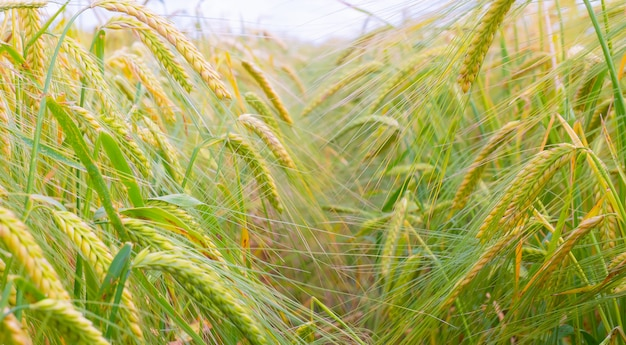 Колоски ржи летом в поле Premium Фотографии
