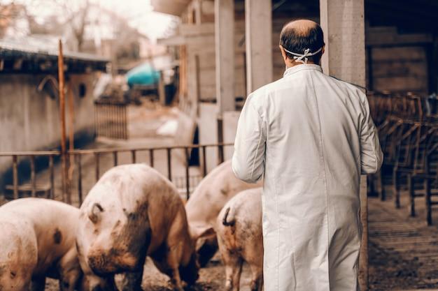 Старший ветеринар в защитной форме стоял в кот с повернутыми спиной и проверки на свиней. Premium Фотографии
