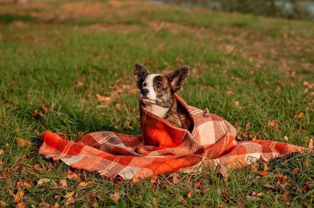 秋の黄色の葉のウェルシュコーギー犬は格子縞で着用します Premium写真