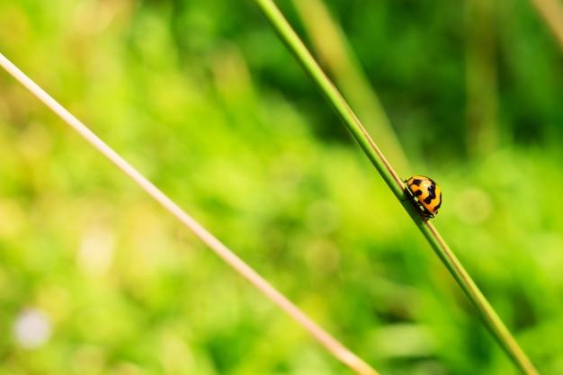 レディバグの草の茎 Premium写真