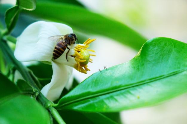 クローズアップの蜂ポメロの白い花 Premium写真