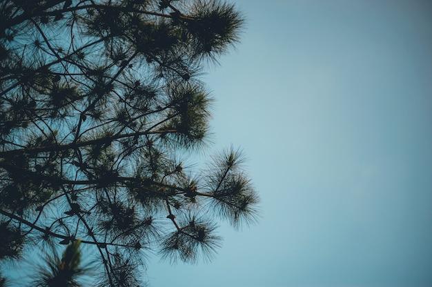 Сосна и сосна происходит в горах во время холодных зимних деревьев. и сосна сухая. Premium Фотографии
