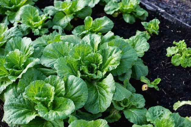 Сад свежих овощей Premium Фотографии
