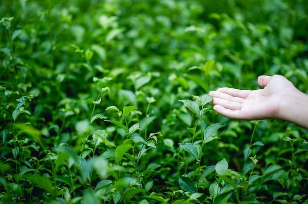 緑茶の葉に触れる手 Premium写真