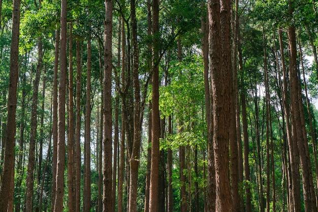 公園の多くの松の木。きれいに並べ替えられました。 Premium写真