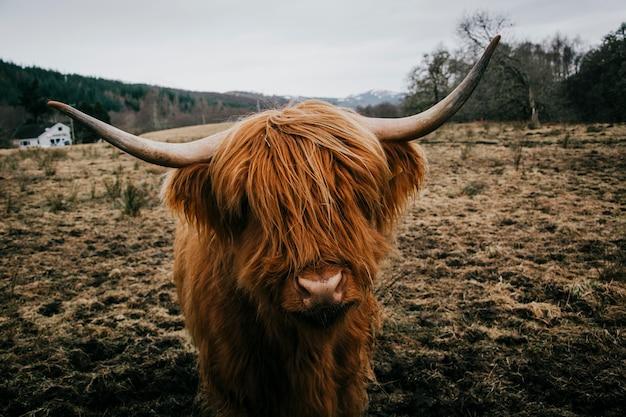 毛深い牛のフィールド 無料写真