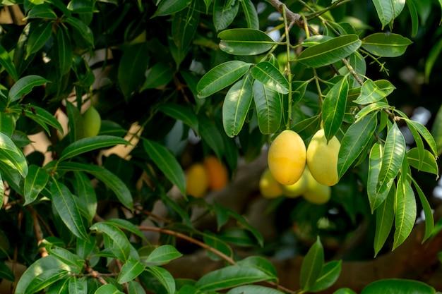 梅マンゴー果実夏。黄色い色高価だがおいしい。 Premium写真
