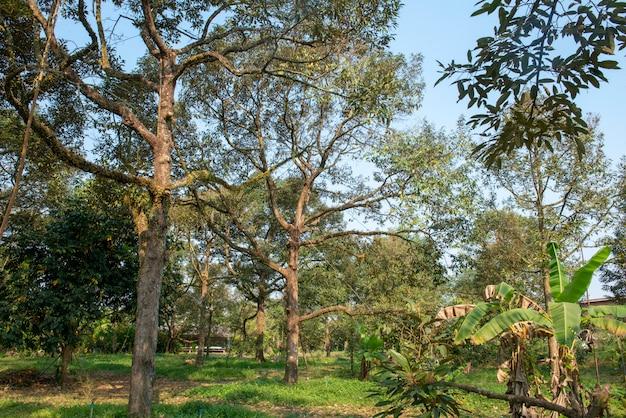 東部タイの庭師のドリアンの木。非常に古くてたくさん作り出す Premium写真