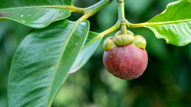 マンゴスチンはタイのフルーツクイーンです。季節で食べる準備ができています。 Premium写真