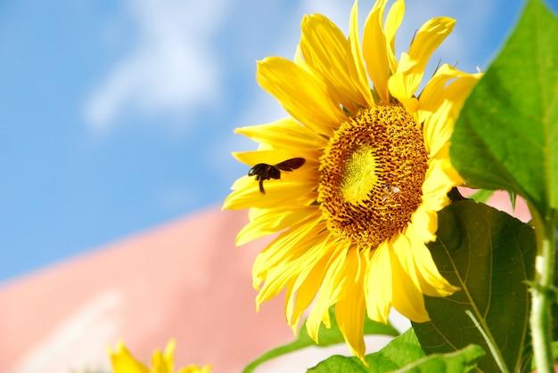 青い空を背景に咲くひまわり Premium写真