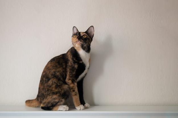 三色猫のカリコまたはトルティーの肖像 Premium写真