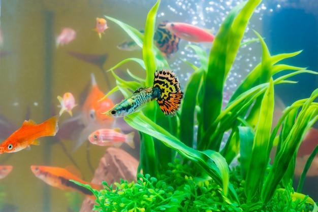 水槽や水槽で小さな魚グッピーと赤魚 Premium写真