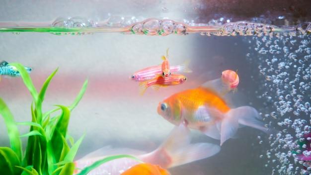 水槽や水槽、金魚、グッピーと赤魚の小さな魚 Premium写真