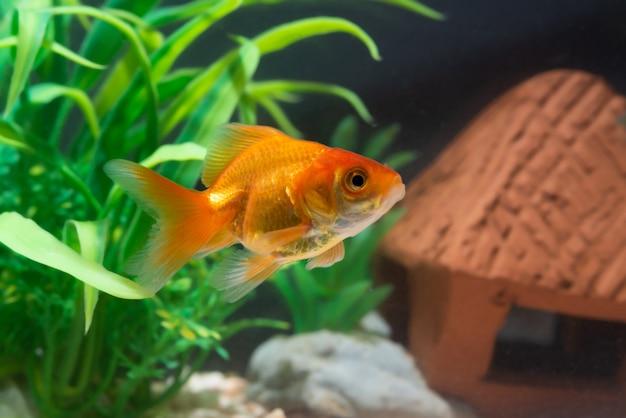 新鮮な水槽で水中を泳ぐ金魚または金魚 Premium写真