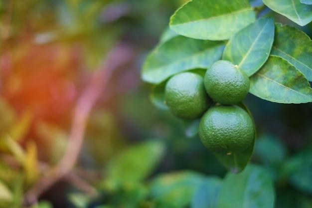 ライムの木の枝にぶら下がっている緑のライムレモン。 Premium写真